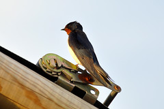 Swallow 2 (earlsy1) Tags: swallow bird seaside beach croyde bay tent camping glamping uk devon england