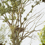 young eagle in nest thumbnail