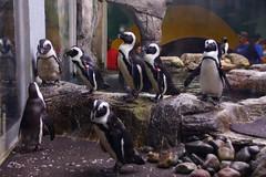 2018_Gatlinburg_0494 (bdill) Tags: ripleysaquarium penguins