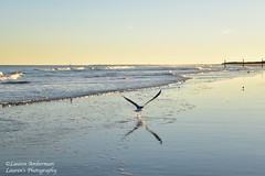 Into the sunset (lauren3838 photography) Tags: laurensphotography lauren3838photography landscape beach surf ocean atlanticocean birds seagulls waves water nikon d750 sunset diamondbeach nj newjersey jerseyshore seaside sand tamron