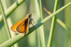 Dickkopffalter, Skipper, Hesperiidae (Stefanie Heilein) Tags: hesperiidae skipper dickkopffalter butterfly schmetterling papillon nature insects insekten makro macro schmetterlinge