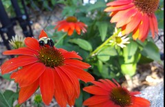 Bee (Mamluke) Tags: bee coneflower flower fleur mamluke garden jardin red insect echinacea bug insecte insekt insetto insecto buzz tiny biene abeille bij ape abeja apis みつばち summer sommer été zomer estate verano rouge rot rojo rood rosso blume fiore flor