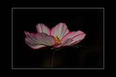 Sideways On (Audrey A Jackson) Tags: canon60d cosmos petals colour nature garden