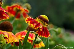 Sonnenhut (GerWi) Tags: sonnenhut pflanze plant blüte blume flower natur sony a7 sonya7 makro macro