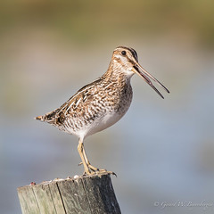 Common Snipe (Turk Images) Tags: commonsnipe gallinagogallinago birds cosn saskatchewan scolopacidae prairie spring wetland