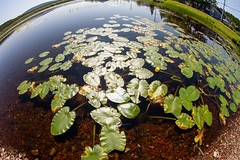 Pond (Karen_Chappell) Tags: pond lily lilypads green nfld newfoundland fisheye canonef815mmf4lfisheyeusm wideangle curve arch cavendish avalonpeninsula atlanticcanada canada blue water nature eastcoast leaves
