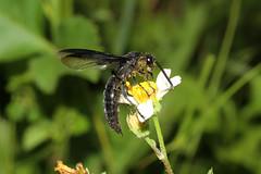 Hymenoptera Vespoidea, Scoliidae sp. M (Scoliid Wasp) - Entebbe, Uganda (Nick Dean1) Tags: hymenoptera animalia arthropoda arthropod hexapoda hexapod insect insecta wasp uganda entebbe