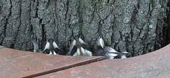 216 Is it Safe (dogwood_springs_photography) Tags: animal raccoon mammal canon7dmarkii specanimal