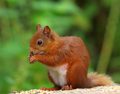 Red Squirrel (eric robb niven) Tags: ericrobbniven scotland redsquirrel wildlife springwatch dundee animal