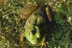 The green frog (kirsten.eide) Tags: d3300 nikon outdoors nature amphibian animals greenfrog frogs