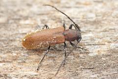 Anaesthetis testacea (Radim Gabriš) Tags: coleoptera cerambycidae lamiinae anaesthetis