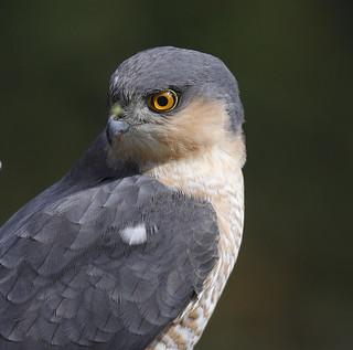 SPARROWHAWK ...male...Powys.