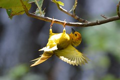Tavela Golden Weaver (deanmorgan4) Tags: weaver bird nature usa florida birds feathers wild sigma nikon wildlife