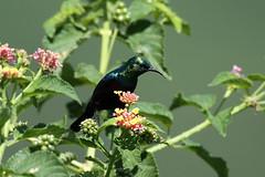 Cinnyris bifasciatus ♂ (Purple-banded Sunbird) - Isunga, Uganda. (Nick Dean1) Tags: animalia chordata aves sunbird cinnyris uganda cinnyrisbifasciatus purplebandedsunbird kibalenationalpark kibale isunga