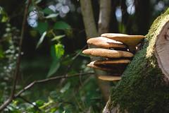 Woodland Fungi (oandrews) Tags: 30dayswild bracketfungi canon canon70d canonuk fungi fungus mushroom nature naturereserve outdoors toadstool wildlifetrusts wildlifebcn woodland glapthorn england unitedkingdom gb