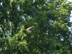 Lannerfalke (Chriest) Tags: grugaparkessen lannerfalke falcobiarmicus hellenthal