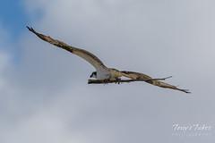 Osprey bringing a big stick to its nest
