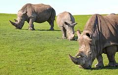 Southern White Rhinoceros (grab a shot) Tags: canon eos 5dmarkiv england uk bewdley westmidlandssafaripark 2018 outdoor animal southernwhiterhino rhinoceros cow female calf bull male rhino