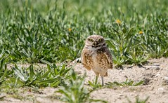 I dare you to take my picture (Photosuze) Tags: owls cute burrowingowls predators birds avians aves nature wildlife animals