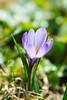 Crocus printanier (Crocus vernus) (Conrad Zimmermann) Tags: 2018 fleurs flora flore flowers macro nature suisse switzerland châtelsaintdenis fribourg ch