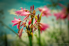 The Beauty Of The Lily (Alan RW Campbell) Tags: water lily blue lilium lake lilies pink pastel