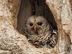 Mama Barred Owl and 2 Hungry Owlets (Metallicat923) Tags: nature silversprings kendallcounty illinois yorkville feeding nest babies owlets owl barred