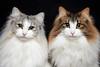 cats (428sr) Tags: nikon cat norwegianforestcat neko ねこ 猫