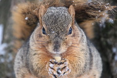310/365/3597 (April 17, 2018) - Squirrels On a Snowy Spring Day in Ann Arbor at the University of Michigan (April 17th, 2018) (cseeman) Tags: gobluesquirrels squirrels annarbor michigan animal campus universityofmichigan umsquirrels04172018 spring eating peanut aprilumsquirrel climber squirrelclimber snow snowy springsnow 2018project365coreys yeartenproject365coreys project365 p365cs042018 356project2018