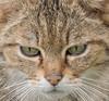 Wildcat (on Explore). (JurgenMaassen) Tags: wildcat wildekat wildkatze cat kat katze lumix panasonic dcg9 leicadg100400f4063 felissilvestris