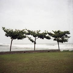 treesome by Tom Kondrat - typhoon blues  fb | wb | tb