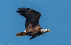 Bald eagle on intercept course - Staten Island, New York (superpugger) Tags: eagle eagles birds birding outdoors nature canon baldeagle baldeagles statenislandbaldeagles