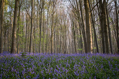 heavenly blue (Emma Varley) Tags: bluebells wild flowers woods forest uk april west sussex blueheaven