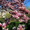 "IMG_0121e (tombarat) Tags: centralpark nyc usa conservatory""tulip""garden springtime"