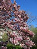 "IMG_0122e (tombarat) Tags: centralpark nyc usa conservatory""tulip""garden springtime"