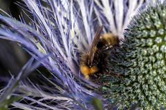 Fuzzy Among the Spikes, pt. 2 - _TNY_1279 (Calle Söderberg) Tags: macro canon canon5dmkii canonef100mmf28usmmacro canoneos5dmarkii flash meike mk300 glassdiffusor queenoftheapls eryngium alpinum alpineeryngo alpmarton martorn alpineholly apiaceae humla jordhumla blue purple prickly spikes fuzz fuzzy fur furry f13 5d2