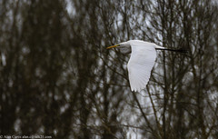 9Q6A9804 (2) (Alinbidford) Tags: alancurtis alinbidford brandonmarsh greatwhiteegret nature wildbirds wildlife