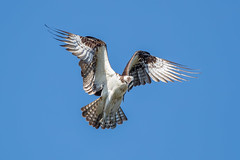 Osprey (Simon Stobart (Catching Up and Editing)) Tags: osprey hovering flying florida usa