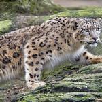 Stalking snow leopard... thumbnail