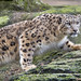 Stalking snow leopard...