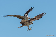 Fight night (Earl Reinink) Tags: osprey raptor bird animal fight flight sky earl reinink earlreinink nature photogrpahy uaeutuhdza