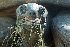 Aldabra turtle Artis JN6A1499 (j.a.kok) Tags: schildpad turtle aldabraschildpad aldabraturtle reuzenschildpad reptile reptiel animal artis giantturtle