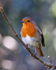 Robin (Treflyn) Tags: robin bird wild wildlife back garden earley reading berkshire uk
