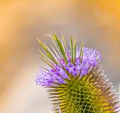 Flowering Teasel. (Omygodtom) Tags: rainbow macro bokeh wildflower teasel colorful colours tamron90mm tamron texture outside existinglight usgs usg natural dof d7100