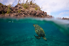 IMG_0241A (Aaron Lynton) Tags: maui hawaii underwater snorkel snorkeling diving dive canon 7d paradise blue turtle turtles seaturtle greenseaturtle hawaiiangreenseaturtle honoluabay lyntonproductions