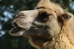 Josephine, has Desert heat (excellentzebu1050) Tags: camelus closeup camel camelusbactrianus animal animalportraits summer2018 outdoor animals farm livestock coth5 sunrays5