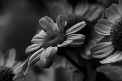 ..there are times when you need to look deeper.. (dawn.tranter) Tags: hmbt monochromebokehthursday monochrome bokeh thursday 7dwf closeup daisies petals lookdeeper look deeper nature moody