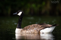 Canada Goose (Photography - KG's) Tags: rspb wildlife nature bird birds animals canadageese brandonmarsh reserve