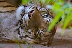 Happy World Tiger Day 2018 (Belteshazzar (AKA Harimau Kayu)) Tags: khunde tiger zoo cat asian asiancat bigcats sumatran pantheratigrissumatrae animal sumatratiger tigredesumatra суматранскийтигр tygrsumaterský tygryssumatrzański sumatraansetijger szumátraitigris uenozoologicalgardens tigre тигр tygr tijger tigris fuengirola spain ueno 수마트라호랑이 苏门答腊虎 虎 tokyo toodarnhot hổsumatra sumatrakaplanı เสือโคร่งสุมาตรา सुमात्रनवाघ სუმატრისვეფხვი טיגריססומטרה harimausumatera ببرسوماترایی predetor beast carnivorous flesheating tiikeri sumatrantiikeri the spaniard wonderful rembrandt rembrandtlighting the4thofjuly independenceday bathing swimming nobeastsofiercebut flehmen flehmenresponse king kingoftheenclosure feline mouser grimalkin mammal fierce predatory predator fierceanimal japan bathingtiger flickrbigcats higashiyamazoologicalgardens yagiyamazoologicalgardens sendai internationaltigersday