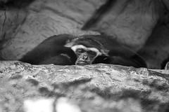 Resaca (Lograi) Tags: barcelona cataluña catalunya catalonia españa espanya spain geoetiquetada geotagged zoo zoológico gibón gibbon mono ape simio primate animal bw blancoynegro byn blackandwhite blackwhite bn
