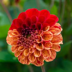 Dahlie  (22) (berndtolksdorf1) Tags: blumen blüten dahlien blossom flower plant rot orange gartenblume outdoor